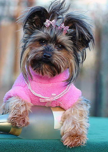 Dog with necklace and pink sweater.