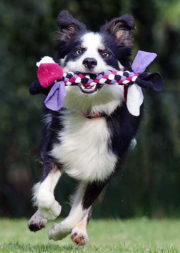 Dog running with toy.