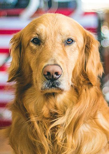 Dog with flag background.